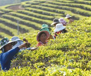 广东红茶成为市场竞争亮点