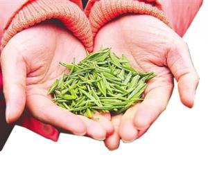 金骏眉:生态茶产业造福武夷山茶农